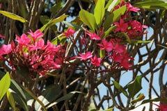 frangipani op een boom Royalty-vrije Stock Fotografie