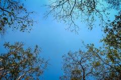 Frangipani ou arbre de plumeria avec le fond de ciel bleu Photo libre de droits