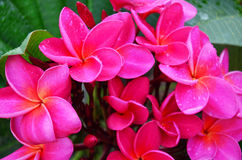 Frangipani ou fleur de Plumeria Photo libre de droits