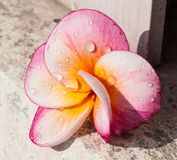 Frangipani ou flores cor-de-rosa Fotografia de Stock Royalty Free