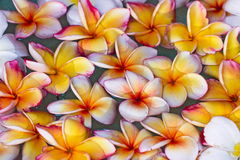 Frangipani or Pagoda flowers floating. White pink and yellow blossom flora - close up and selective focus Stock Photos