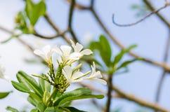 Frangipani or Pagoda tree or Temple tree flower Royalty Free Stock Photos