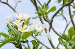Frangipani or Pagoda tree or Temple tree flower Royalty Free Stock Photo
