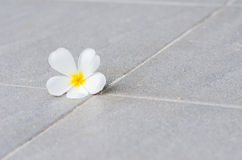 Frangipani or Pagoda tree or Temple tree flower Stock Image