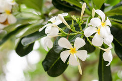 Frangipani or Pagoda tree or Temple tree flower Stock Photo