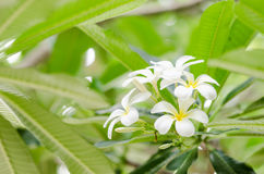Frangipani or Pagoda tree or Temple tree flower Royalty Free Stock Images