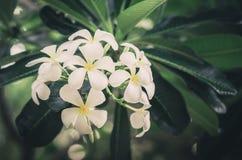 Frangipani or Pagoda tree or Temple tree flower vintage Stock Image