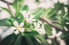 Frangipani or Pagoda tree or Temple tree flower vintage Royalty Free Stock Photo