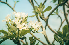 Frangipani or Pagoda tree or Temple tree flower vintage Royalty Free Stock Image