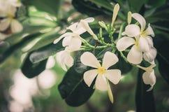 Frangipani or Pagoda tree or Temple tree flower vintage Stock Images