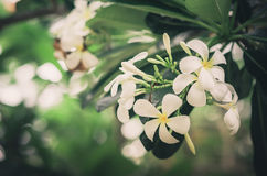 Frangipani or Pagoda tree or Temple tree flower vintage Royalty Free Stock Images