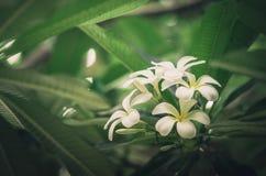 Frangipani or Pagoda tree or Temple tree flower vintage Stock Photos