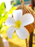 Frangipani or Pagoda tree. White and yellow blossom flower or flora, decoration on wood in park and outdoor, is mood of Bali, relax and natural Stock Photos