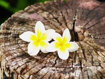 Frangipani or Pagoda Tree on the wood. White and yellow blossom flora or flower is decorate in park and outdoor, mood of Bali, natural, relax and beautiful Royalty Free Stock Image