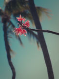 Frangipani  With Palm Trees and Turquoise Sky. Close up of Plumeria With Palm Trees In the Background Stock Images