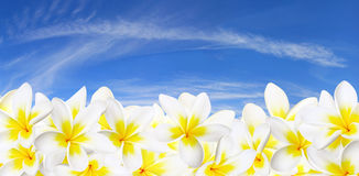 Frangipani Panorama Royalty Free Stock Photo