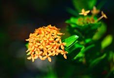 Frangipani parfumé de plumeria de perfection Photographie stock