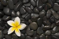 Frangipani and  pebbles Stock Photos