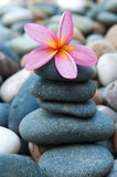 Frangipani on  pebbles and rocks Royalty Free Stock Photography