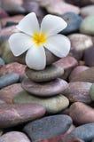 Frangipani on  pebbles and rocks for spa purpose Stock Image
