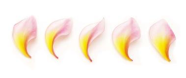 Frangipani petals Stock Image