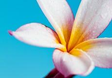 Frangipani pink on blue Royalty Free Stock Photo