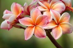 Frangipani. Pink and yellow frangipani blooming Royalty Free Stock Images