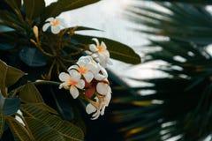 Frangipani plant with white flowers, Bluewaters Island, Dubai stock images