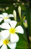 Frangipani Plumaria photos libres de droits