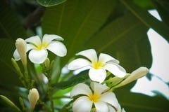 Frangipani Plumaria Stockbild