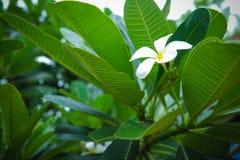 Frangipani Plumaria Stockfoto
