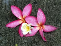 Frangipani (plumeraia). Pink and white frangipani flowers, in water with rain on petals Royalty Free Stock Photo