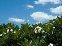 Frangipani, Plumeria, δέντρο Templetree και μπλε ουρανός Στοκ Φωτογραφίες