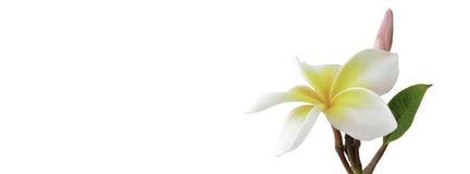 Frangipani (plumeria) και γλυκά λουλούδια για την κοινωνική κάλυψη β μέσων Στοκ φωτογραφία με δικαίωμα ελεύθερης χρήσης