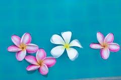 Frangipani Plumeria λουλουδιών τροπικό poo κολύμβησης υποβάθρου μπλε Στοκ εικόνα με δικαίωμα ελεύθερης χρήσης