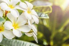 Frangipani, Plumeria στο άσπρο υπόβαθρο Στοκ Εικόνες