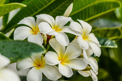 Frangipani, Plumeria στο άσπρο υπόβαθρο Στοκ εικόνες με δικαίωμα ελεύθερης χρήσης