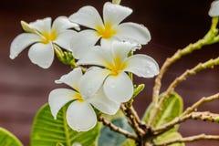 Frangipani, Plumeria στο άσπρο υπόβαθρο Στοκ Φωτογραφία
