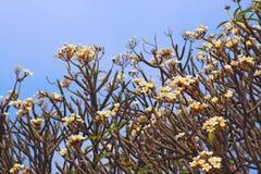 Frangipani (Plumeria) Royalty Free Stock Photo