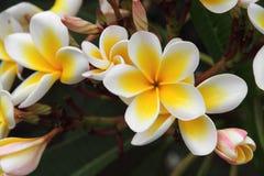 Frangipani (Plumeria) стоковое изображение