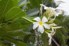 Frangipani, Plumeria Стоковая Фотография