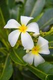 Frangipani, Plumeria Стоковое фото RF