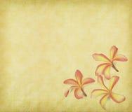 Frangipani ή plumeria Στοκ Φωτογραφίες