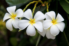 Frangipani-Plumeria Στοκ εικόνες με δικαίωμα ελεύθερης χρήσης