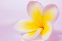 Frangipani Plumeria. Single frangipani (plumeria) flower against glossy pink background Stock Images