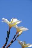 Frangipani - Plumeria Stockbilder