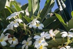 Frangipani Plumeria Στοκ Εικόνες