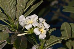 Frangipani Plumeria Στοκ Φωτογραφία