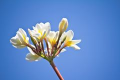 Frangipani (plumeria) against Stock Photo