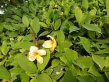 Frangipani Plumeria alba Στοκ φωτογραφία με δικαίωμα ελεύθερης χρήσης